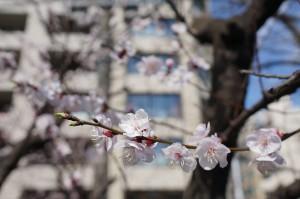卒園式頃 桜の写真