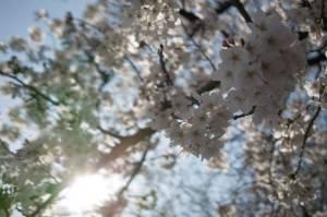 桜 撮り比べ