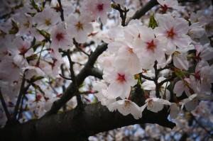 【大阪 八尾市】桜が綺麗な玉串川沿 -近鉄 高安駅周辺-