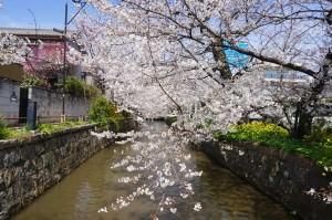 【大阪 八尾市】桜が綺麗な玉串川沿 -近鉄 山本駅周辺-