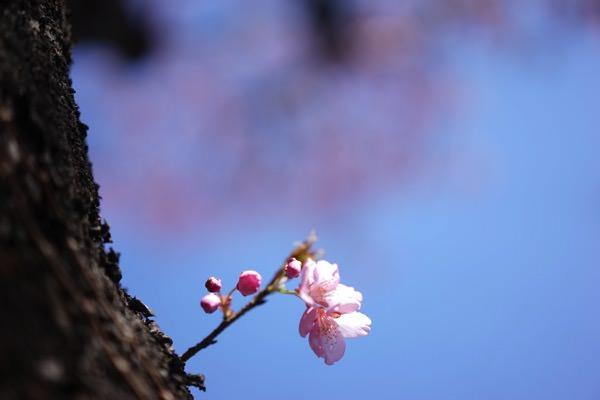 高島町駅の桜