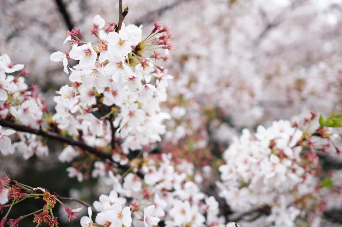 四ツ谷 桜