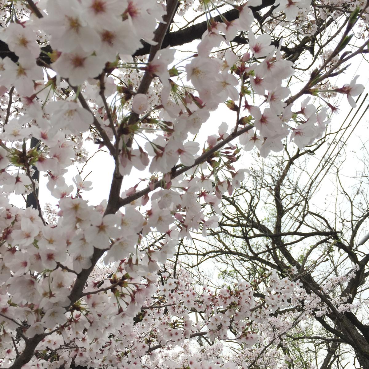 玉串川 桜並木